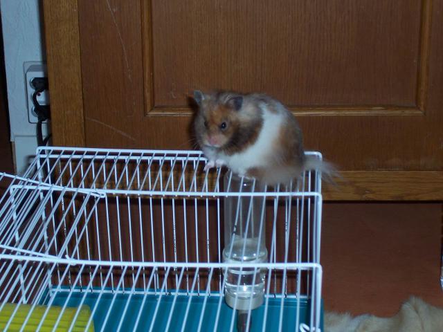 [ESPÈCE] Le hamster Syrien 694210BGS336209017804870_000059