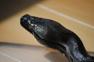 Python curtus black Sumatra 694791DSC0046