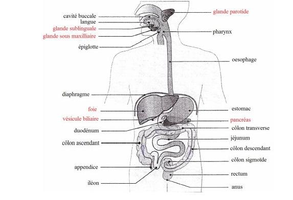 Guide RP du CHU - Page 2 694931AppareilDigestif