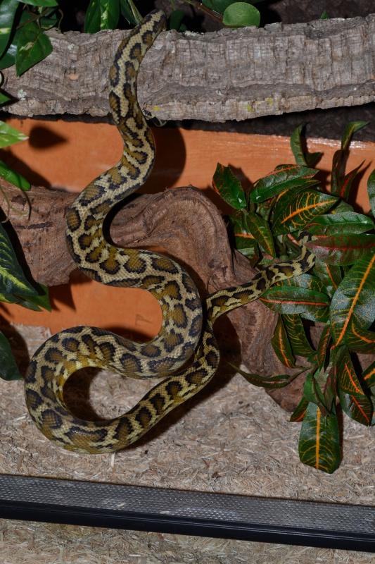 Morelia spilota variegata Irian Jaya [ Mon Wajah ] - Page 2 696200DSC0291