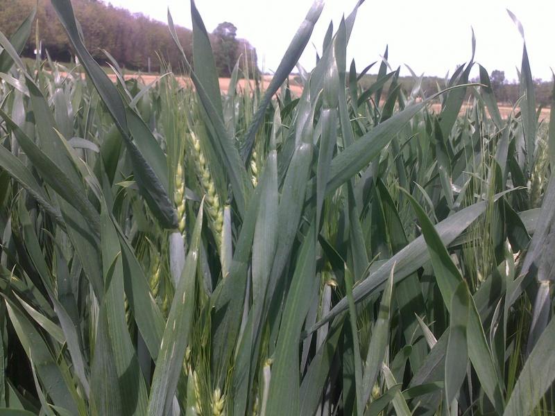 photo de mes blés   71073103052012119