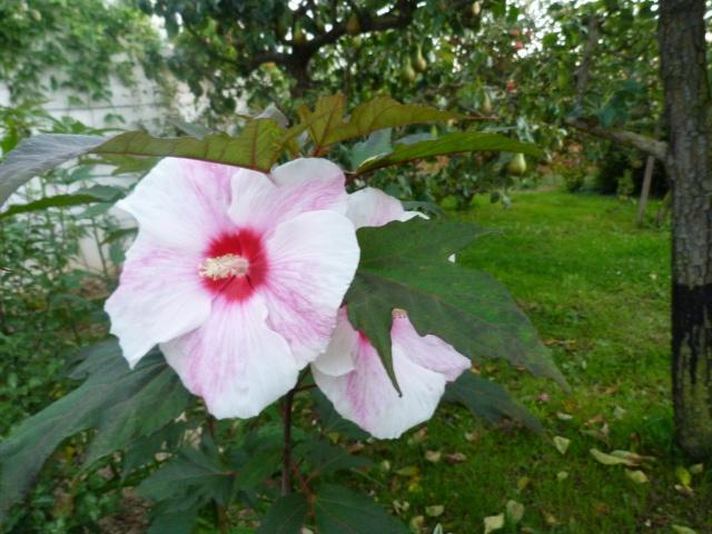 Voici mes quelques hibiscus en fleurs - Page 2 716899P1050290