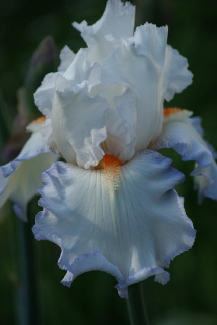 Iris barbus : les bleus immatériels... les blancs angéliques... 722070025