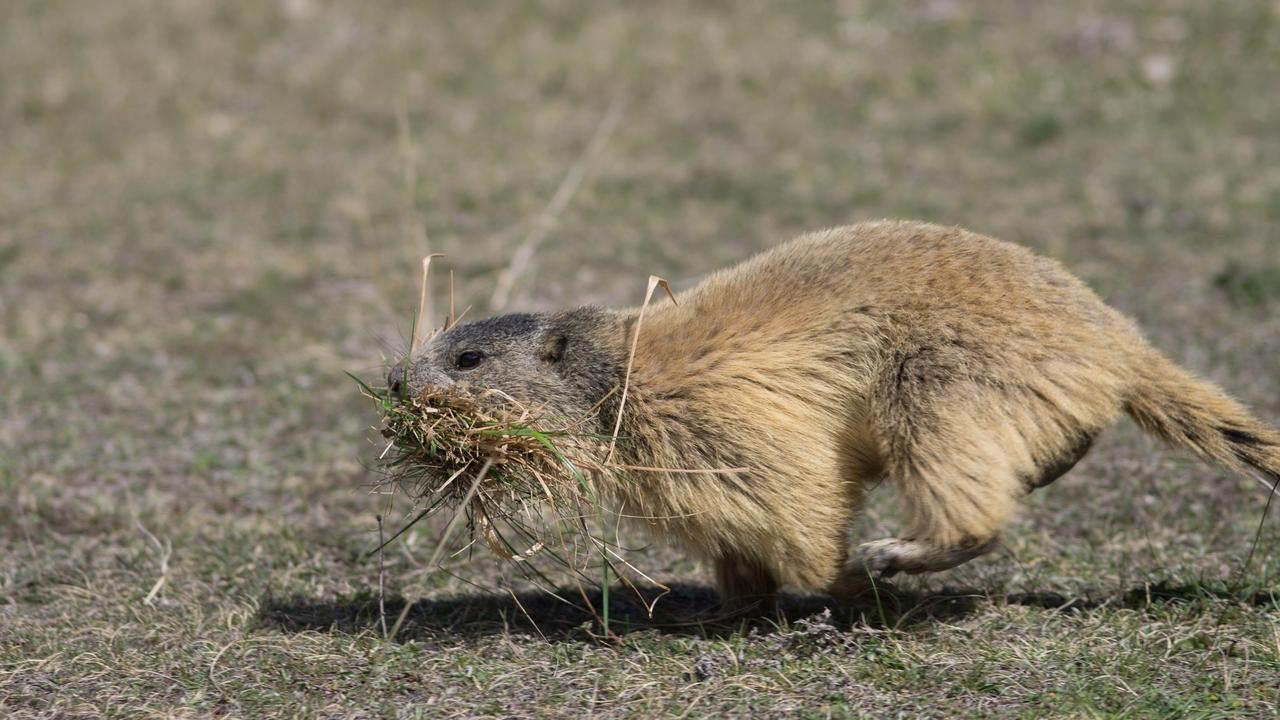 Journée de la marmotte 722683IMGP8176