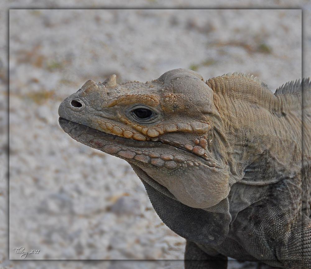 [Fil ouvert à tous] Reptiles, serpents, tortues, amphibiens, ... 723333iguane2