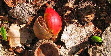 Plantes toxiques ou à risques 727227acornred