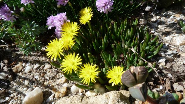 Bergeranthus vespertinus 727795P1120265