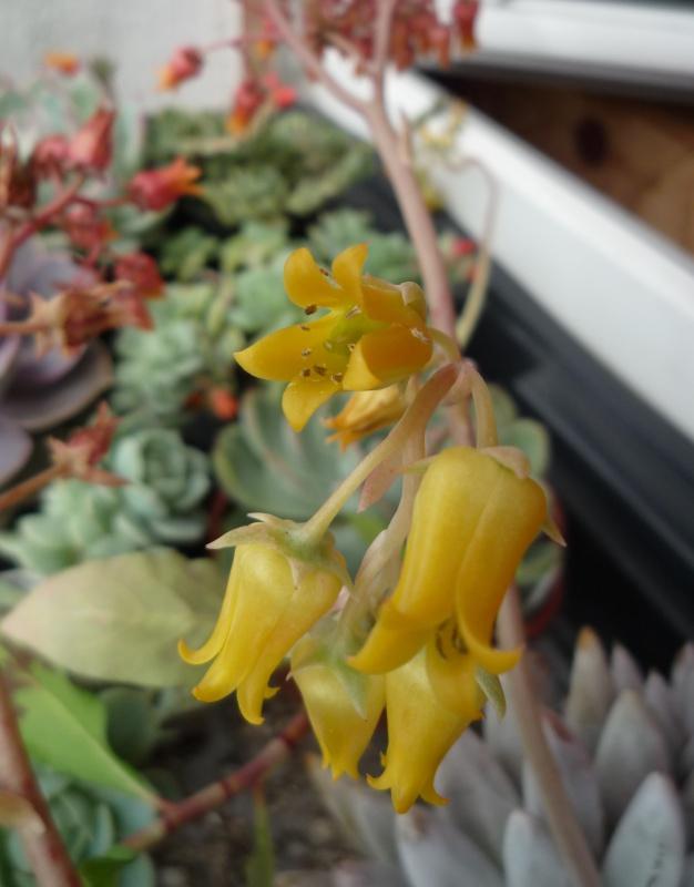 un bouquet de fleurs d'Echeveria pour fêter l'arrivée du soleil! 739095ileenfleurs05