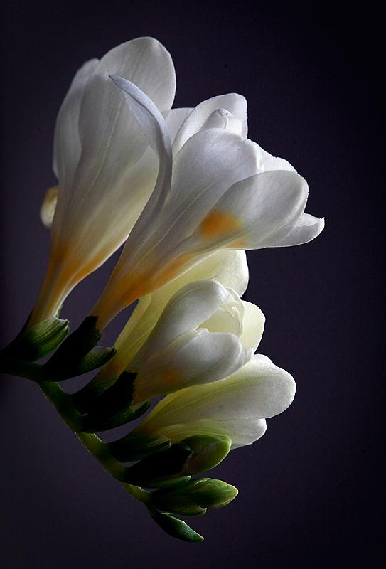 Une fleur blanche. 740265Fleursblanches