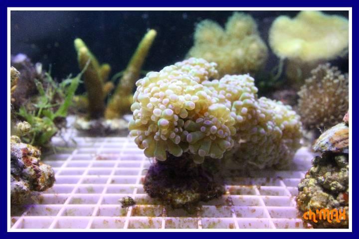 ce que j'amène en coraux a orchie  740494PXRIMG0033GF