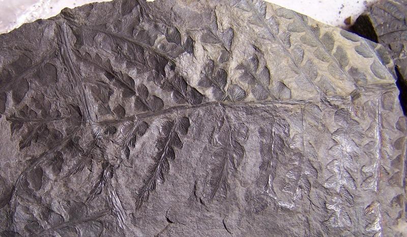 Pseudomariopteris busquetii 743352CopiadeCopiade1002493