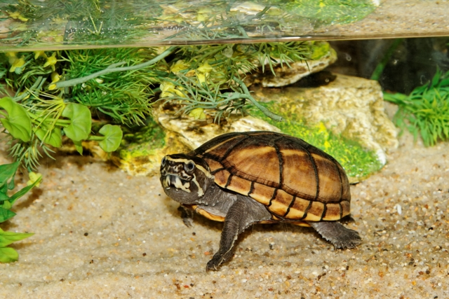 Mes Kinosternon baurii 748140Tortues31oct2011002DxO640x480