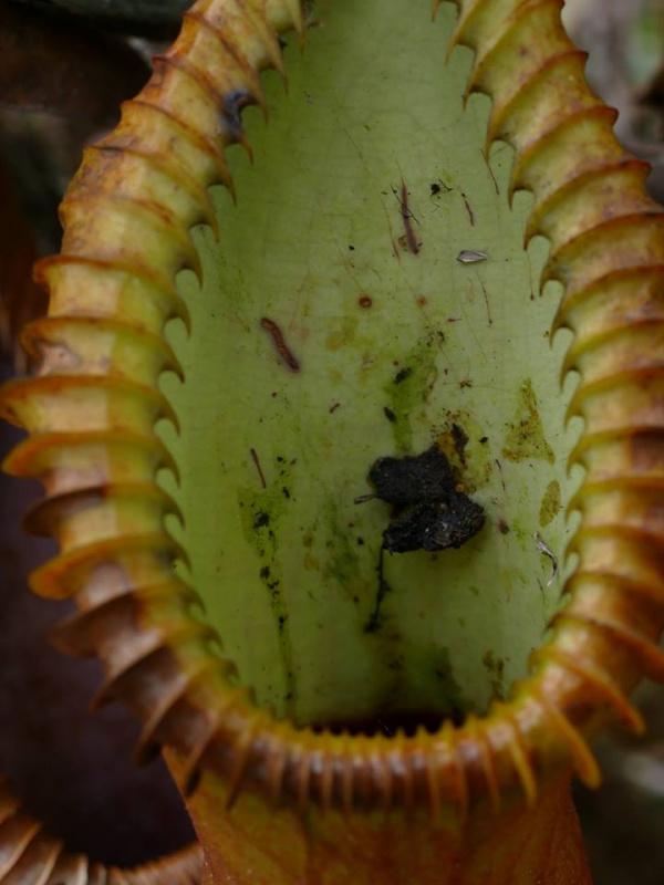 Nepenthes macrophylla sur le Mont Trus Madi à Borneo. 750245222820177967381404858211332166914887320096n