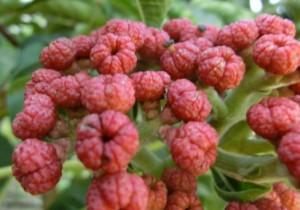 Les fleurs (ou plantes ) contre le cancer. 750831evodiarutaecarpa300x210