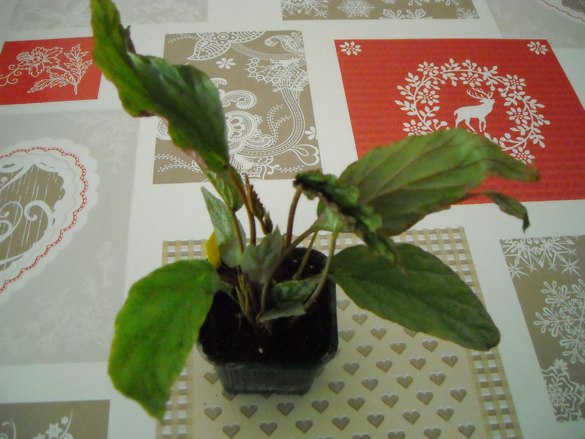 begonia de bégo 751155plantebgo001