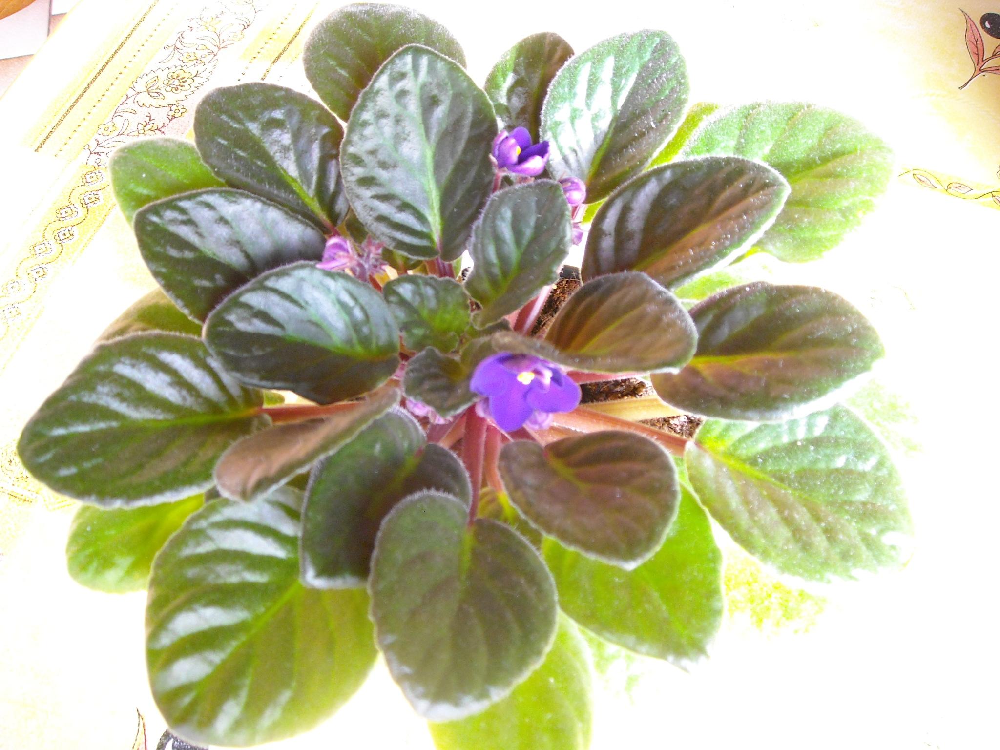 violette africaine,ou saint paulia - Page 2 755007stpauliaetclivia001