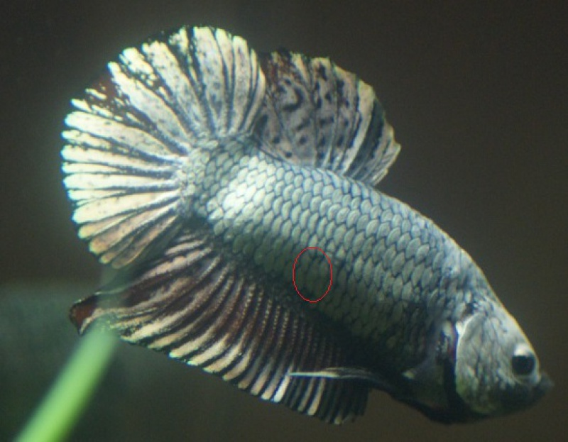 Betta PK dragon de chez BUFFY 759832dsc05511