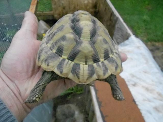 inquiet pour tortue hh 763196DSCN0220