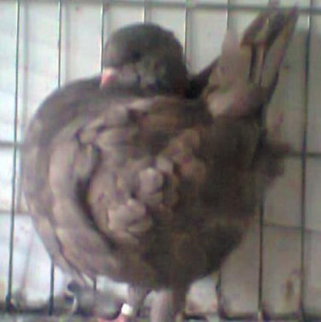 Pigeons 2015 - Page 2 764333Photo0866001