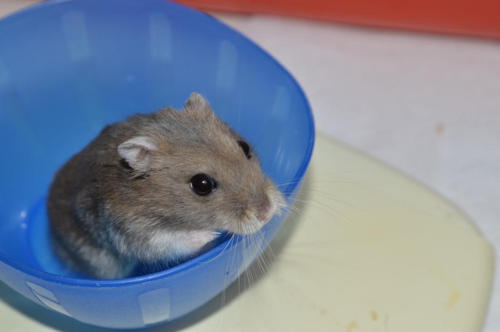 Couleur de cette hamster.. 764734DSC0871