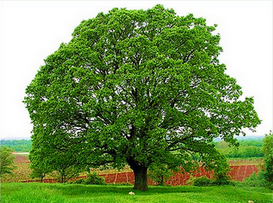 Plantes toxiques ou à risques 765416oakdeI
