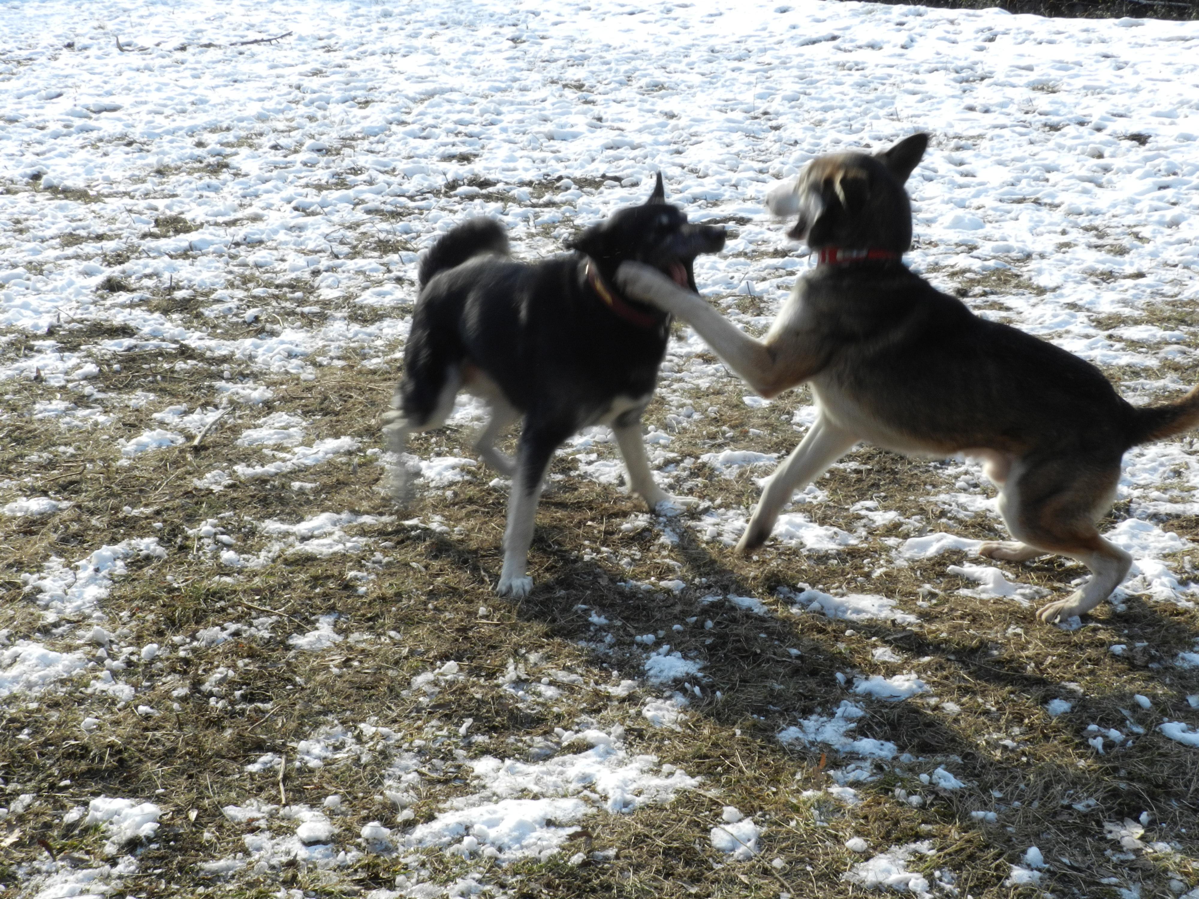 Link Berger X Husky mâle 5 ans gris et blanc PAR:38 ADOPTE 772976DSCN2047