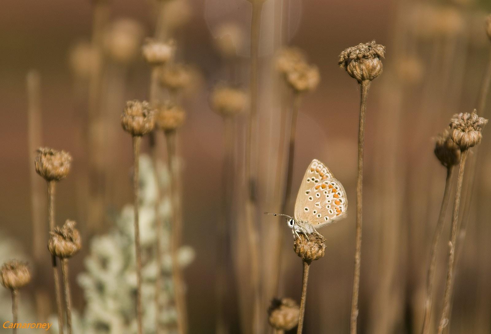 L'argus et autres papillons  mise a jour du 04.04.2019 ( camaroney ) - Page 2 782737DSC44911600