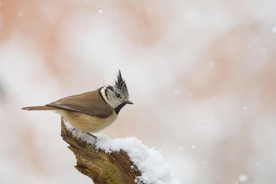 Oiseaux du jardin (màj) du 31 janvier - Page 2 785022DSC3185