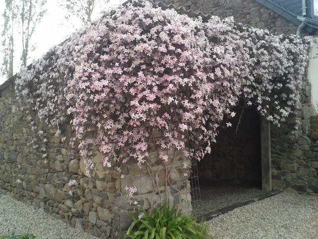 compos du printemps et clématite montana 78548920140422150451
