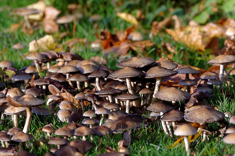 [fil ouvert] les champignons - Page 4 785651DSC7195DxO
