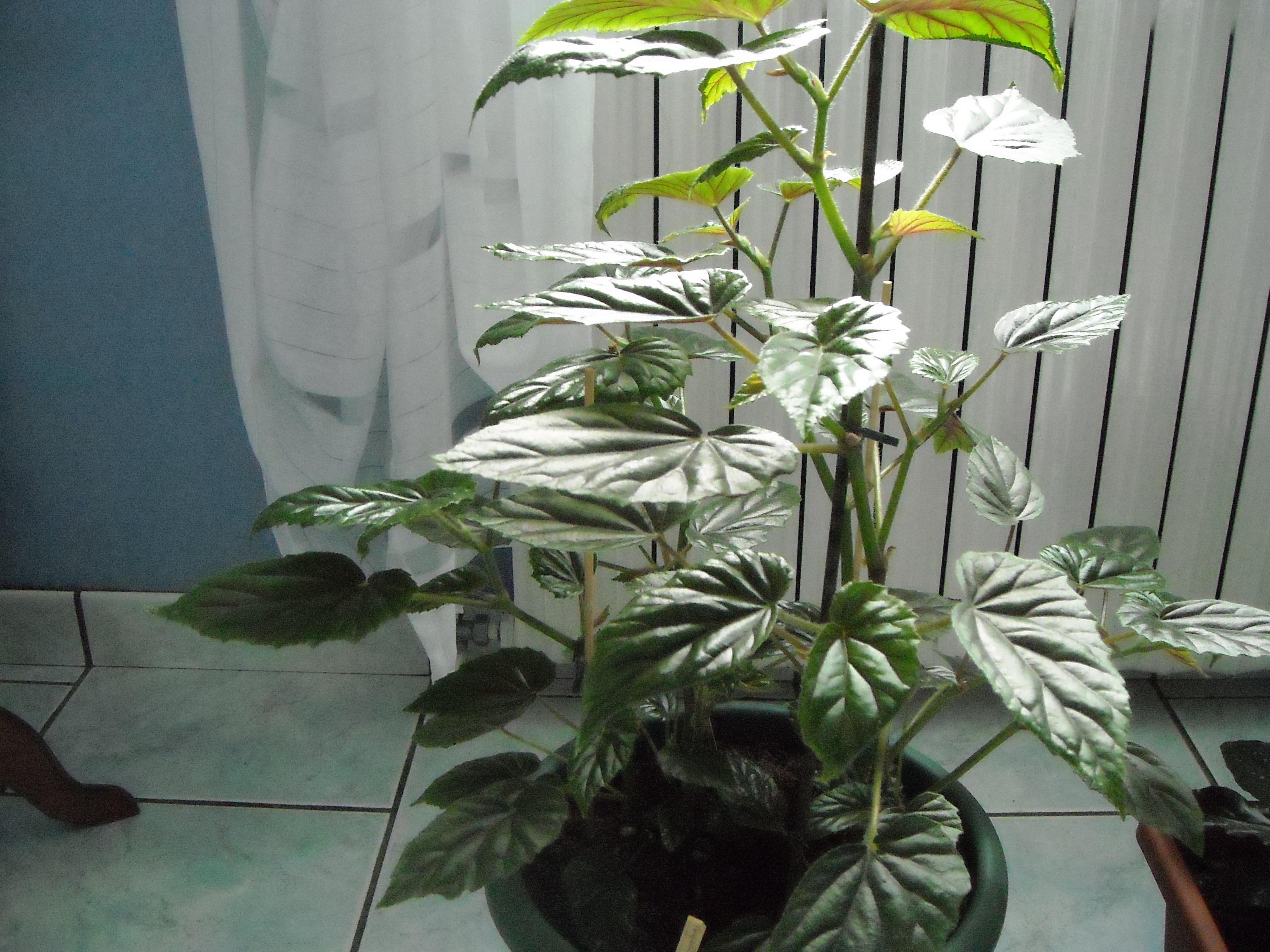 qu'est ce que c'est comme plante? 791765bgonia011