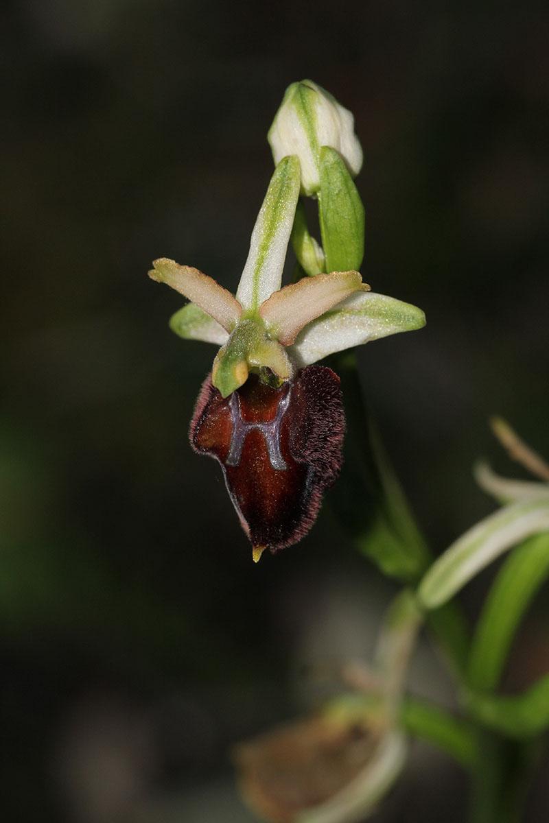 Ophrys panormitana var praecox (Ophrys précoce ) 792784IMG5369forum