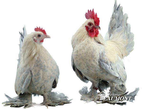 Nos poules d'ornement, des nouveaux P2 794785XLSABPOR
