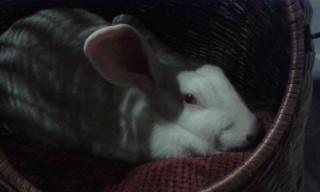 Association White Rabbit- Réhabilitation des lapins de laboratoire - Page 2 794915120792518785165155738221082747513000312528n