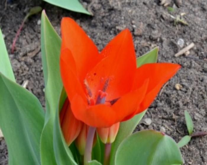 Tulipes 798622012Copie