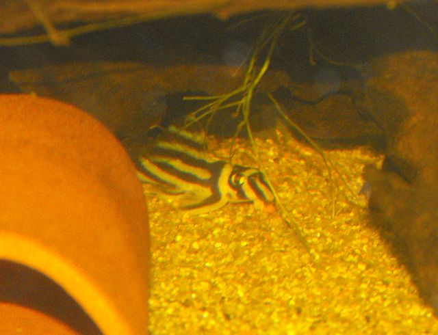 Hypancistrus zebra  [POISSONS DE FOND] 799115L46_1_7_10_10