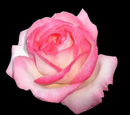 Tubes roses 80796662048b5b