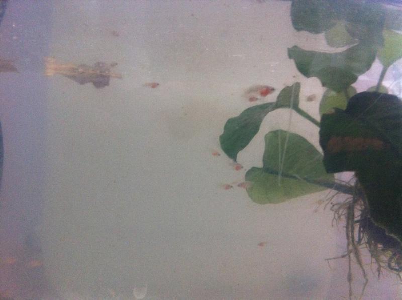 Reproduction: male black orchid HM geno DT x femelle black lace HMDT: DOUBLEE 8109763semaineset5jours2