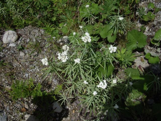 petite flore du Québec 811322IMGP9991