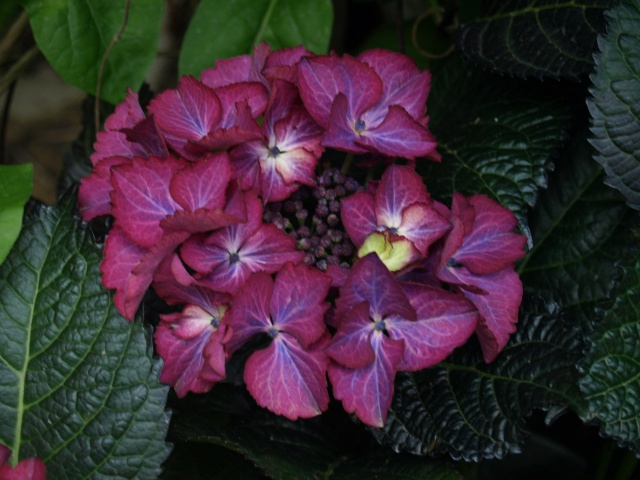 hortensia black diamonds 813010P5282163