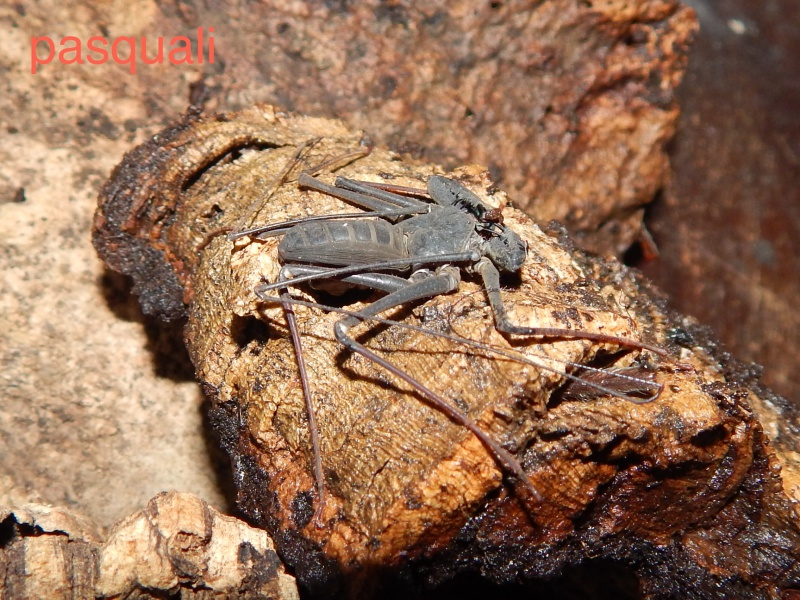 "Damon variegatus et Stygophrynus sp ""Sulawesi"". 823544RSCN0928"