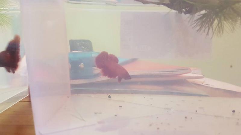 Repro 2016: Male HMVL rouge x femelle HMVL rouge et male PKHM jaune x femelle HMVL rouge. 823594femelle1b