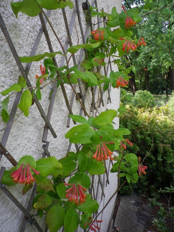Lonicera x brownii 'Dropmore Scarlet' 825691IMGP4627