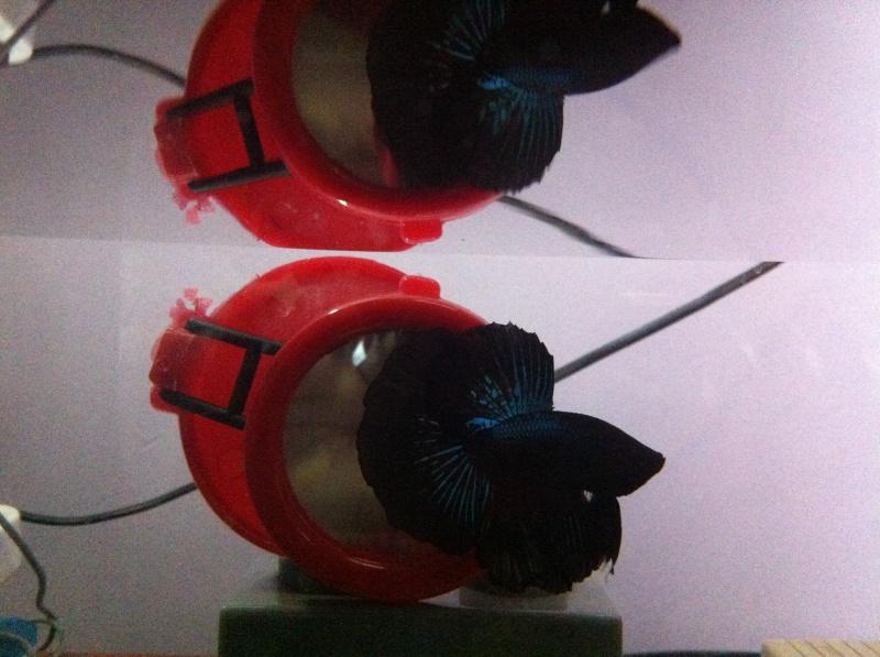 Reproduction: male black orchid HM geno DT x femelle black lace HMDT: DOUBLEE 825761couple1