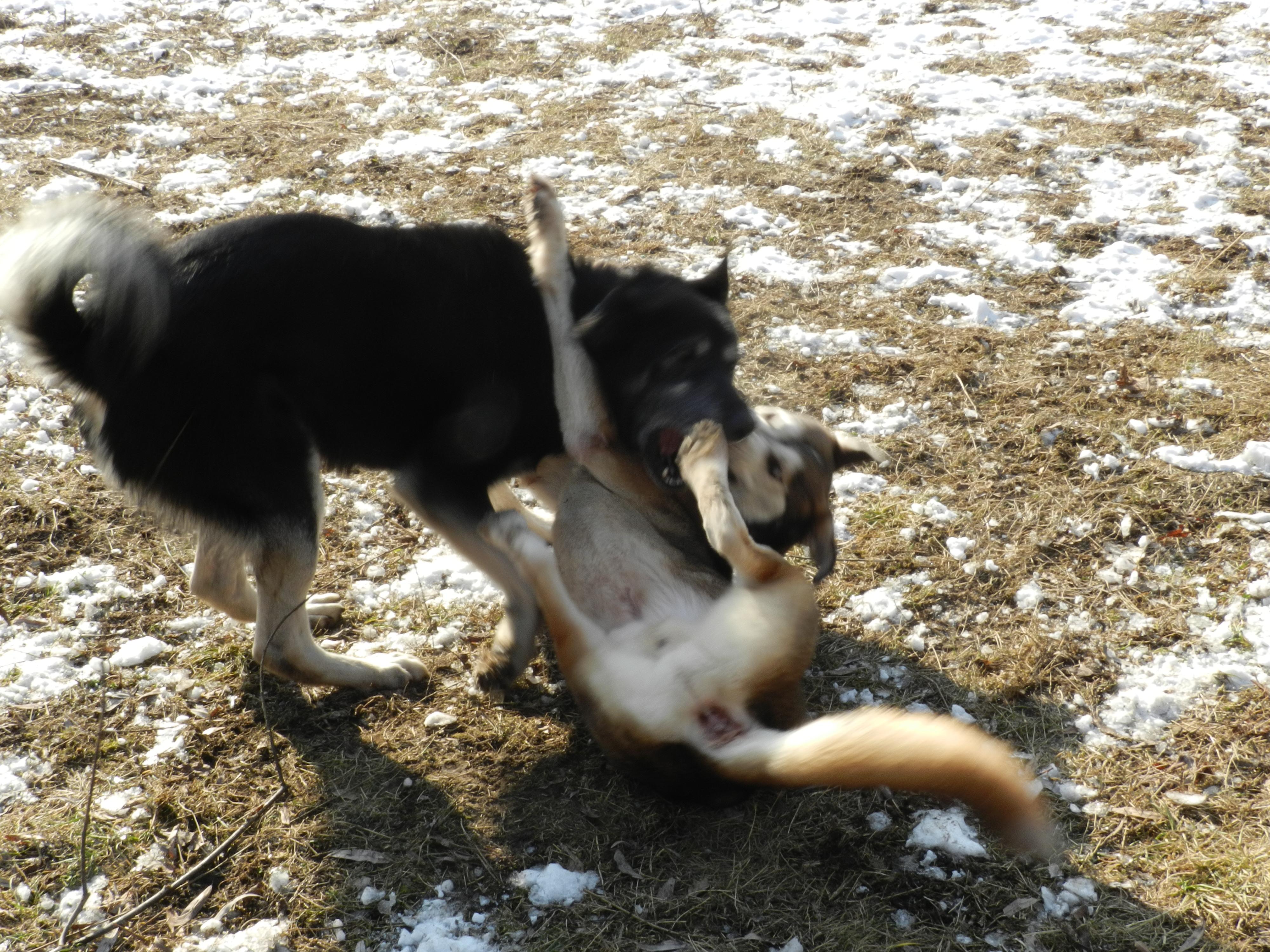 Link Berger X Husky mâle 5 ans gris et blanc PAR:38 ADOPTE 842803DSCN2066