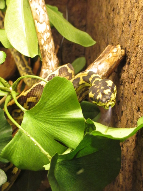 Morelia spilota variegata - Page 4 842864IMG0233