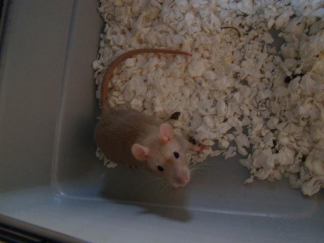 Entrée dans le monde des rats avec ces deux ptits ratous ! (NEWS 24/02 843194DSC00373