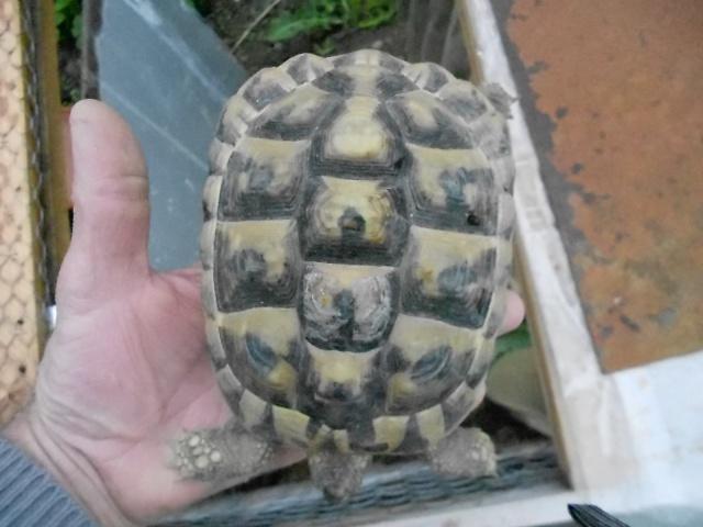 inquiet pour tortue hh 843724DSCN0219