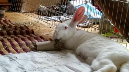 [ADOPTEE] Alice, lapine de laboratoire  846908foin110