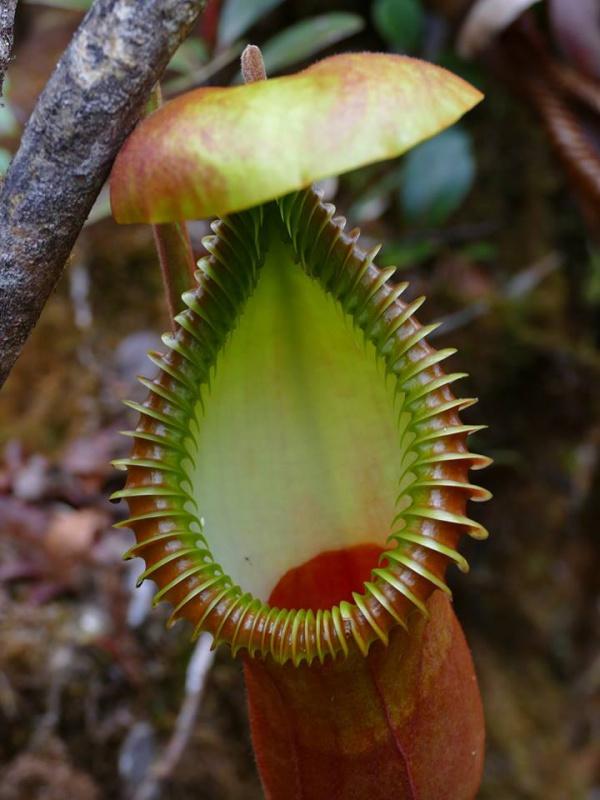 Nepenthes macrophylla sur le Mont Trus Madi à Borneo. 847204221957217967389204857431765907916531358856n
